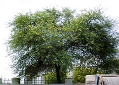 yellow blossoms tree () Tags: pakistan tree karachi