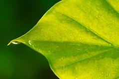 Single Leaf Single Drop (mmgdoherty) Tags: green nature leaf dukegardens sarahpdukegardens ncgardens