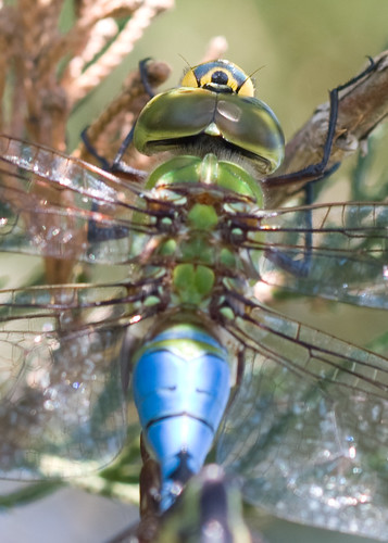 Common Green Darner Wheel--Lost Mound