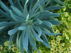 törel - blommor och blad (kerlon) Tags: euphorbia törel