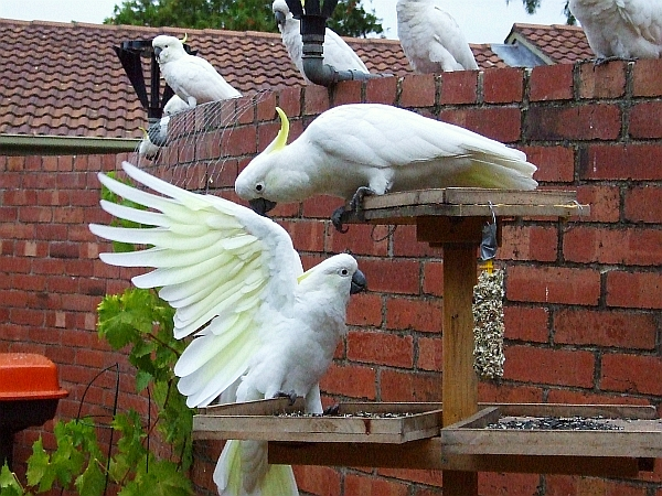 hungry cockatoos