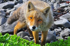 Aleutian Fox (Viewminder) Tags: animal alaska nikon fox incredible encounter aleutian aleutians d300 nikolski umnak splored