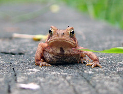 Mr. Grumpy Toad (ginfox) Tags: brown green grass animal hands dof bumpy frog belly toad mean sapo frown mad grumpy blackeyes anawesomeshot