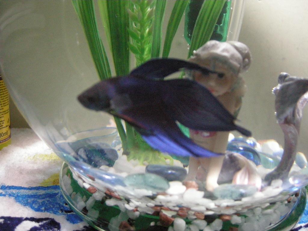 Guizmo the Betta Fish 1