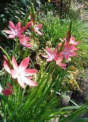 Catching sunshine (bryanilona) Tags: flowers garden lilies soe naturesfinest blueribbonwinner artisticexpression schizostylis supershot flickrsbest bej fantasticflower abigfave anawesomeshot ultimateshot isawyoufirst ysplix theperfectpinkdiamond