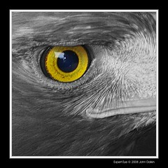 Expert eye (Heaven`s Gate (John)) Tags: england blackandwhite macro bird eye nature yellow closeup dangerous eagle creative beak feathers dramatic imagination falcons avian kidderminster naturesfinest 500x500 10faves falconrycentre johndalkin heavensgatejohn excapture experteye