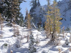 Larch lurkers