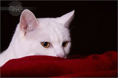 Lady in red (Sunny) (Pfotenblitzer) Tags: red cats white rot studio snuggle amber mix eyes chat sony siamese indoor fluff decke gato blanket cuddle shorthair british katze augen lint siam weiss gatto nestle bernstein britisch kurzhaar kuscheln weis huggle fluse alpha700