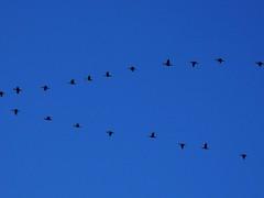 formation for a long journey ! (!!sahrizvi!!) Tags: blue pakistan sky flight formation karachi flickrmeetup rizvi migratorybirds sahrizvi sarizvi