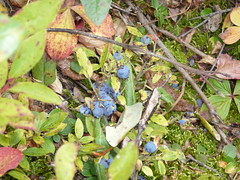 Blueberries en el bosque