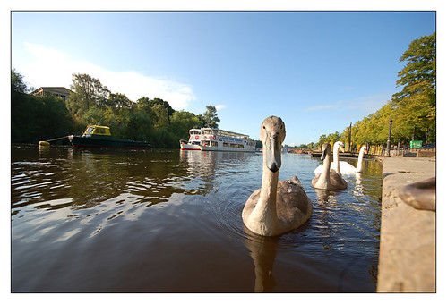 Cygnets on The River Dee