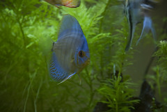 blue plants fish discus freshwater
