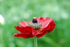 red poppy.jpg
