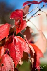 Lapeer's Autumn Leaves