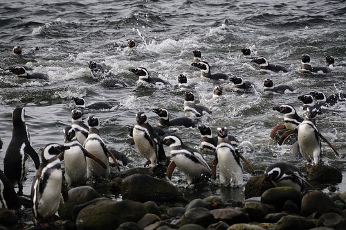 Swimming magellanic pinguins on Magdalena island, Chile