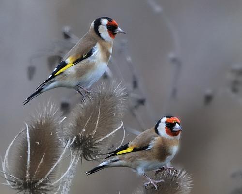 Sve vrste Ptica - Page 2 3042141276_06342c8e17