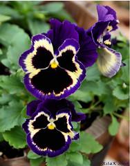 ~Pansy Faces~ (RitaK.) Tags: flowers flower nature pansy explore blooms pansies soe naturesfinest beautysecret d80 bej rubyphotographer