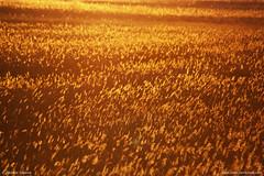 Oro Zecchino (Palude all'Alba) (Michele Catania) Tags: red sea sky italy orange sun cold water field yellow canon gold dawn golden mare wind alba lagoon giallo cielo canes swamp di su michele laguna sole acqua rosso venezia palude freddo incontri grado catania canna giulia vento torrent arancione friuli canne goldenfield torrente friuliveneziagiulia blueribbonwinner nordest canneto canonef70300mm fossalon canoneos450d chicècè incontrianordest michelecatania fossalondigrado cfpalmarino