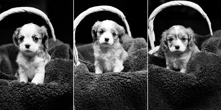Cavalier King Charles Spaniel puppies for sale in Placerville, California