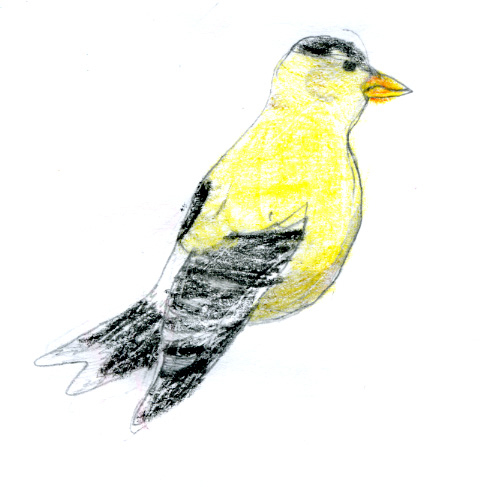 American Goldfinch -- by Zippy age 9