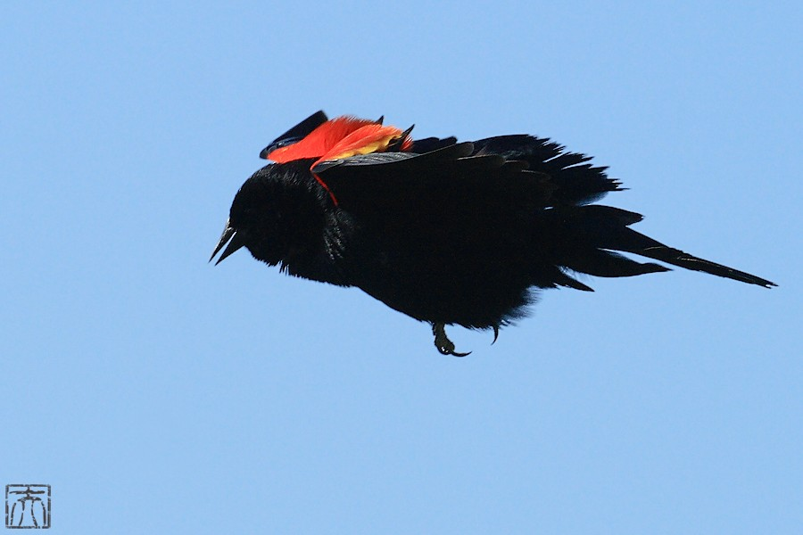 Red-winged Blackbird 04101-5