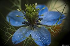 La vie en bleu... (fabdebaz) Tags: macro fleur photo mai 31 printemps baziège aficionados sudouest 2011 hautegaronne lauragais k10d pentaxk10d justpentax mimamorflowers collectionnerlevivantautrement baziege