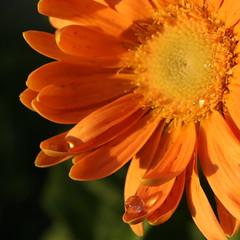 Daisy 342/365