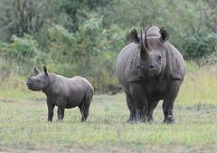 Black Rhino & Calf, Maasai Mara, Kenya