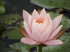 Water lily (ddsnet) Tags: plant flower waterlily sony cybershot aquatic  aquaticplants      lily water  tetragona water   lily nymphaeatetragona    nymphaea plants hx100v aquatic nymphaea tetragona plantsnymphaea tetragona