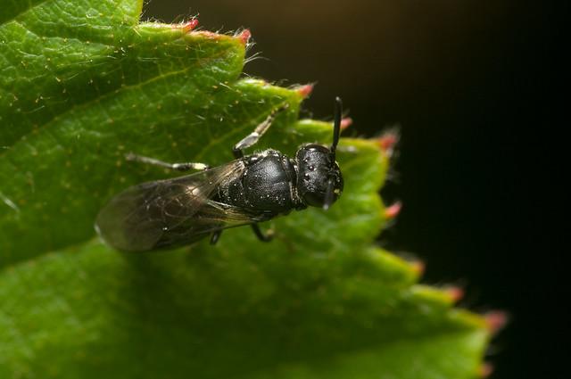 Hylaeus communis (f)