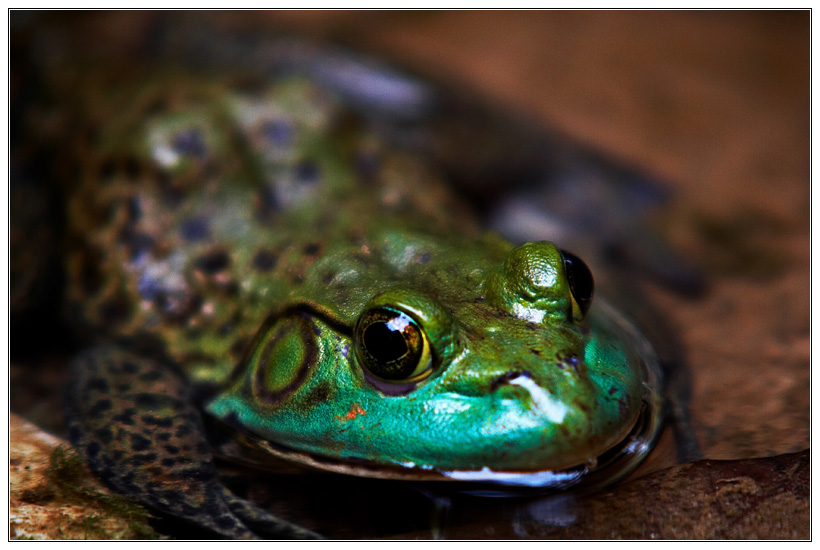 Docile Toad