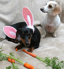 Bunny Chow (geckoam) Tags: dog puppy easter dachshund blackdog mocha carrot levi piebald easterbunny doxie whitedog