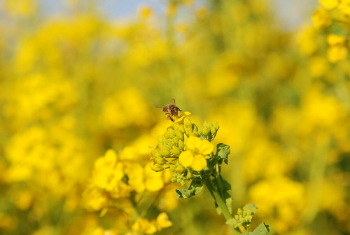Rape Blossoms with Honey Bee