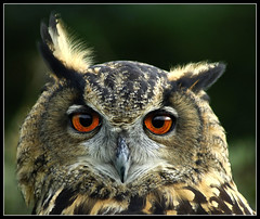 Ear twitching eagle owl (hawkgenes) Tags: birds photographer wildlife best only excellent awards soe finest natures colourartaward johnsbirds damniwish