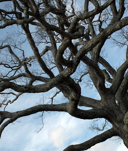 tangle of oak branches