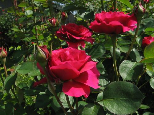 Roses 014