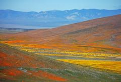 Bands of colour (sjb5) Tags: california flowers orange mountains yellow purple hills antelopevalley mojavedesert californica antelopevalleypoppyreserve goldfields lastheniacalifornica lasthenia antelopevalleycaliforniapoppyreserve tehachapimountains eschschlotziacalifornica antelopebuttes