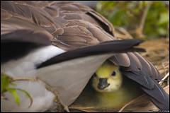 first peek (vcrimson) Tags: new nottingham england cute bird duck babies goose gosling hatch fowl waterfowl flickrslegend