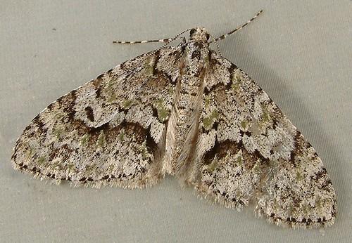 1131 Cladara anguilineata or limitaria - Mottled Gray Carpet Moth 7637