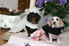The Bride and Groom (geckoam) Tags: wedding dog groom bride hotdog dachshund wiener mocha levi piebald doxie black white wiener dog hot dogwedding tan theunforgettablepictures dachshundwedding