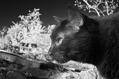 Eleanor IR Duo (Robert Withers) Tags: cat blackcat tabby
