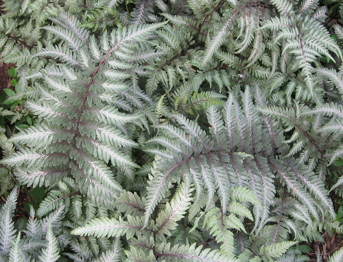 JAPANESE PAINTED FERN by Daisy.Sue
