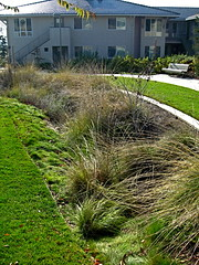 Linear rain garden/bioswale/drainage (Pandorea...) Tags: green water rain garden slow explore management hold lid linear drainage swale infiltrate bioretention lowimpactdesign
