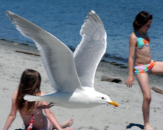 Gull (Professional Recreationalist) Tags: ocean girls bird beach sand friend gull daughter brucedean professionalrecreationalist victoriabc willowsbeach oakbay rejectedbynaturesfinest