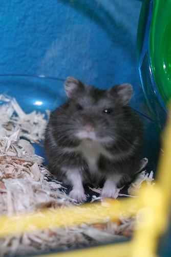 Dark Blood (Formerly Known As Fru-Fru) - Jamies New Hamster