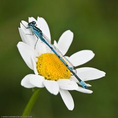 Azure Damselfly (Chris@184) Tags: canon insect eos interestingness interesting dragonfly derbyshire explore daisy damselfly soe odonata d60 insecta naturesfinest zygoptera azuredamselfly coenagrionpuella puella top20flowersandbugs top2020 pleasley abigfave sigma180mmf56macro citrit top20everlasting goldstaraward pleasleypit chris184 manfrotto679bmonopod manfrottomn234head top20bugsandblossoms taxonomy:binomial=coenagrionpuella vivitar14xmc
