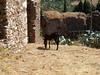 Byzantine donkey (steven_and_haley_bach) Tags: byzantine mystras sixthday mistras greecevacation byzantineruins