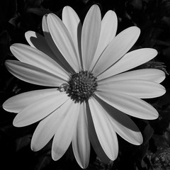 Too Beautiful for Color (must view on black) (Per@Flickr) Tags: bw plants flower macro iso400 f8 eastmankodakcompany 13200sec meteringpattern bias03ev programaperturepriority kodakp880zoomdigitalcamera adobephotoshopelements60windows focallength294mm focallength35mm140