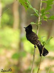 Red-vented Bulbul (Pycnonotus cafer) (Z.Faisal) Tags: black green bird nature dark nikon natural beak feathers aves nikkor bangladesh avian bipedal bangla faisal desh bulbul d300 zamir redventedbulbul cafer rajendrapur pycnonotus pakhi endothermic redvented nikkor18200mmvrii zamiruddin dahaka zamiruddinfaisal zfaisal