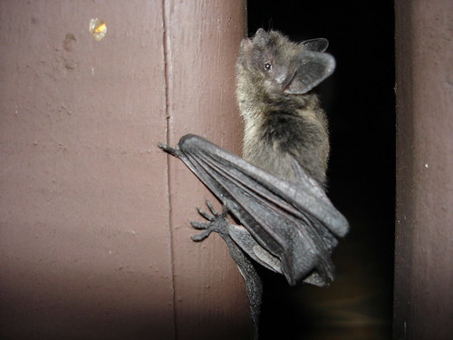 bat by g_kovacs, on Flickr